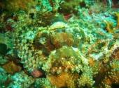 Scorpionfish, Pescador Island East, Moalboal