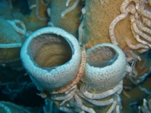 Sea Cucumbers, Pescador Island West, Moalboal