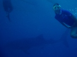 Snorkelling with Whale Shark