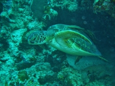 Turtle on House Reef, Moalboal