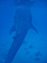 Vertical Whale Shark