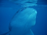 Whale Shark, Front View