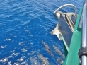 Dolphins in Our Bow Wave