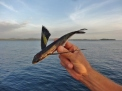 Flying Fish Casualty