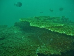 Healthy Coral