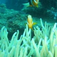 Kogyo Maru Clownfish