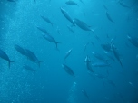 Okikawa Fish
