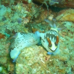 Okikawa Nudibranch Pair