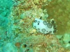Okikawa Nudibranch