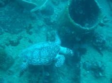 Okikawa Turtle