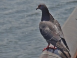 Pigeon along the Sumida River