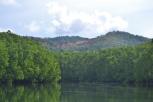 healthy-mangroves