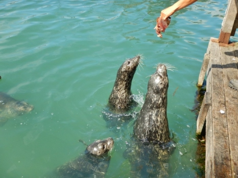 feeding-the-seals