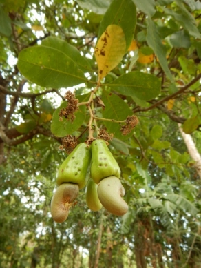 how-cashews-grow
