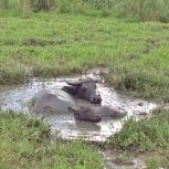 carabao-mud-bath