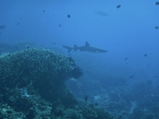 Another Reef Shark