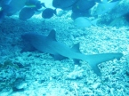 One Reef Shark