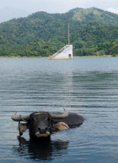 Carabao and Sunken Church of Bajaoen
