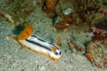 Orange and Black Nudibranch