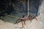 Cave Lobsters