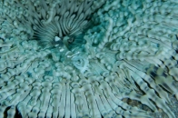 Ghost Shrimp in Anemone