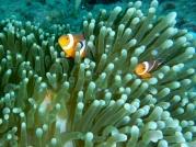 Okikawa Anemone Fish