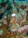 Okikawa Scorpion Fish