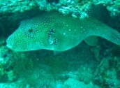 Another Pufferfish