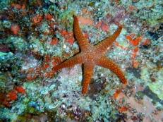 Orange Sea Star