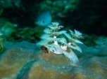 Two Christmas Tree Worms