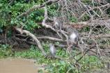 macaque troup