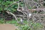 macaque troup