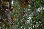 maroon langurs