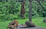 orangutan nursery