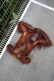 orangutan yoga