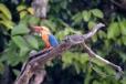 stork-billed kingfisher