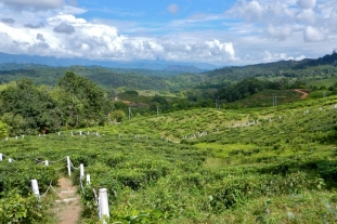 tea plantation walk