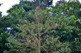 tree of proboscis monkeys