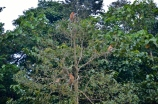 tree of proboscis monkeys