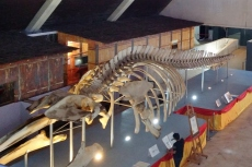 Bryde's Whale Skeleton