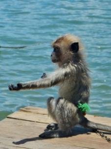 Pet Monkey