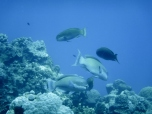 Troup of Parrotfish